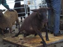 Fertig beim Friseur und ab zurück zur Herde